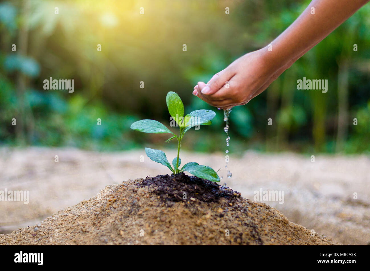 hand give water tree In the hands of trees growing seedlings. Bokeh green Background Female hand holding tree on nature field grass Forest conservation - Stock Image
