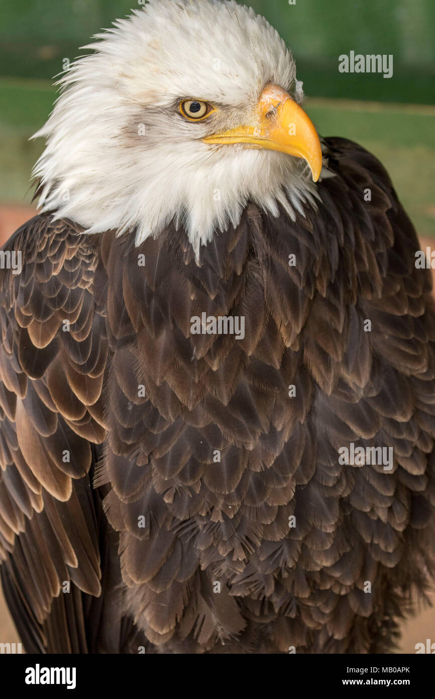 portraits of rescued bald eagle at a sanctuary in cambridgeshire, england, europe Stock Photo