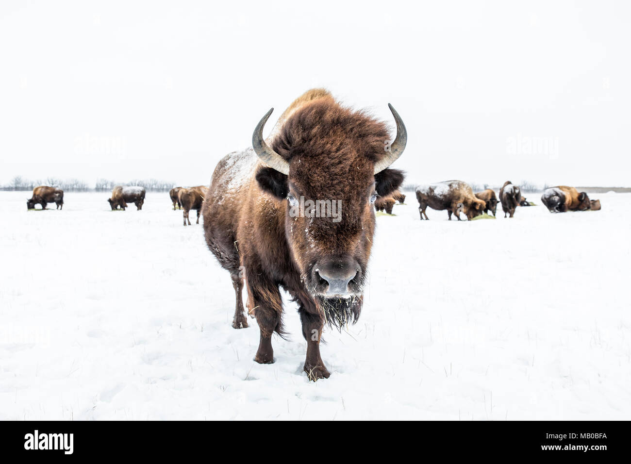 Herd of American Bison, or Plains Bison, (Bison bison bison) in winter, Manitoba, Canada. Stock Photo