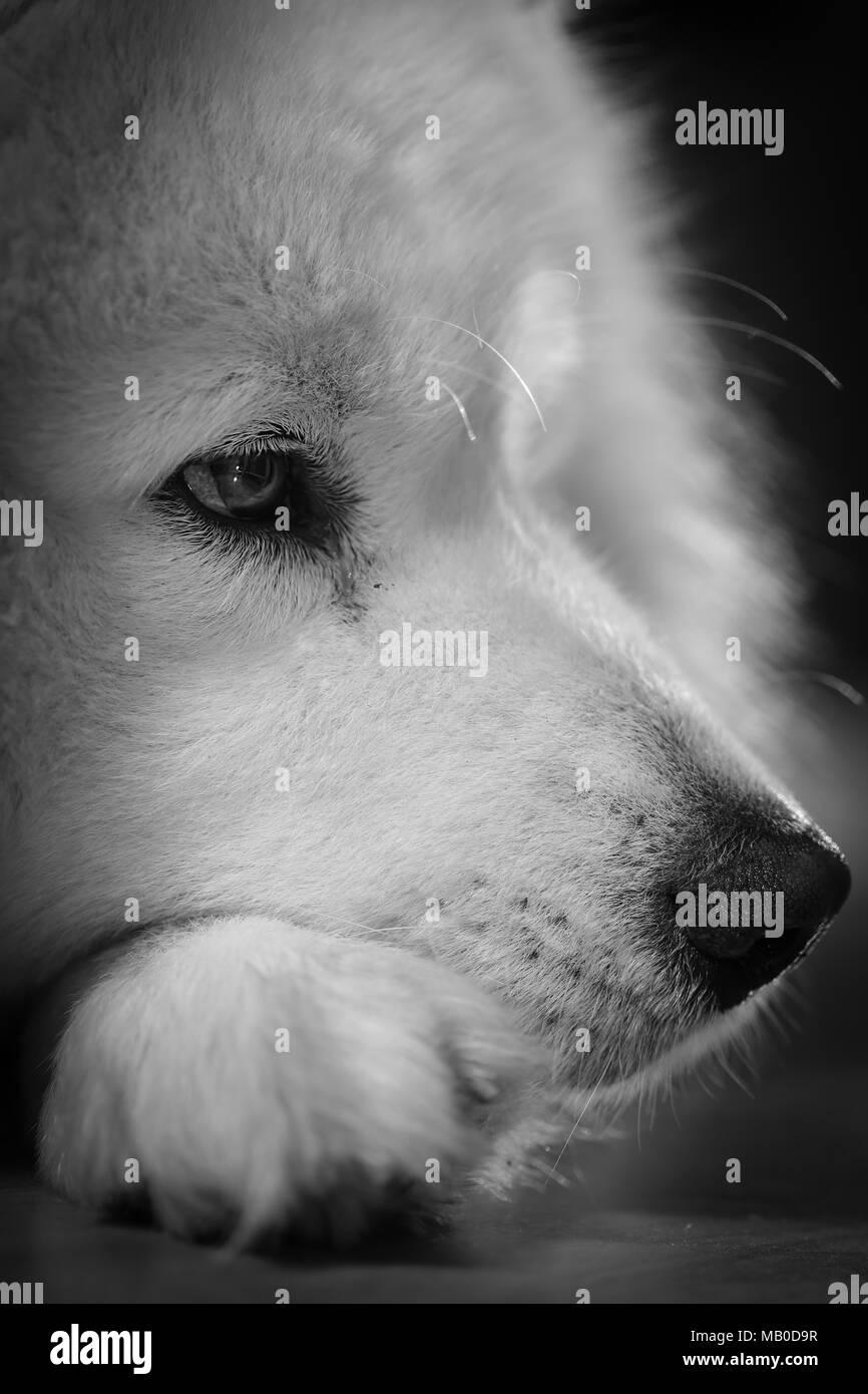Grown white Siberian Samoyed lying on linoleum in house. Dog in house on  linoleum - Stock Image