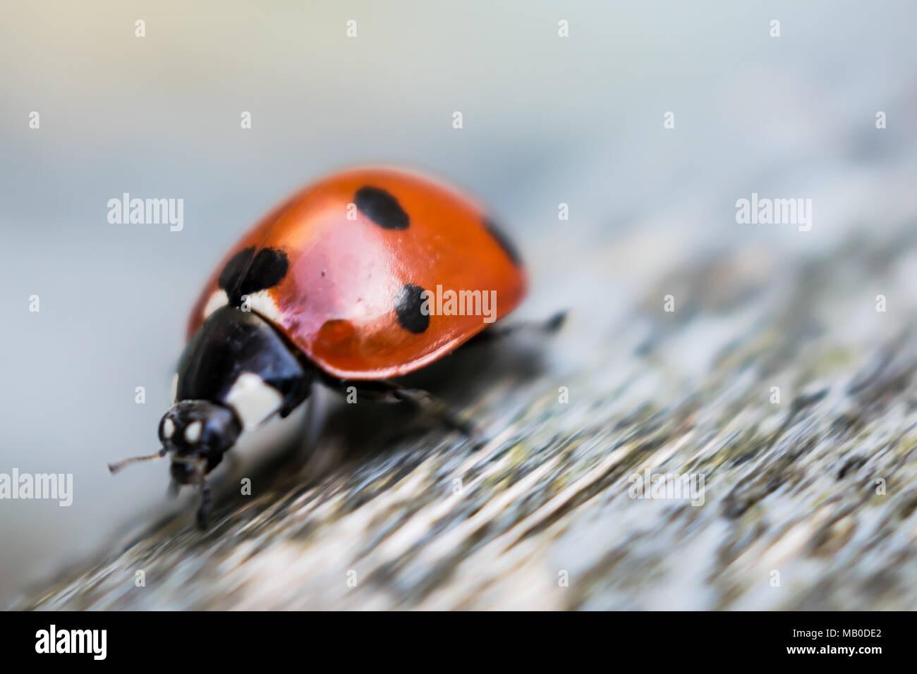 ladybird - Stock Image