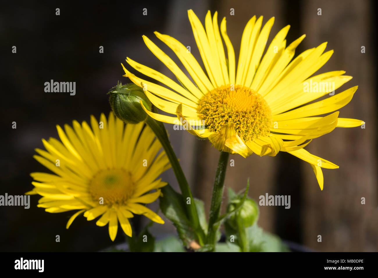 Bright yellow daisy flowers of the shade tolerant spring flowering bright yellow daisy flowers of the shade tolerant spring flowering perennial doronicum x excelsum harpur crewe mightylinksfo Images