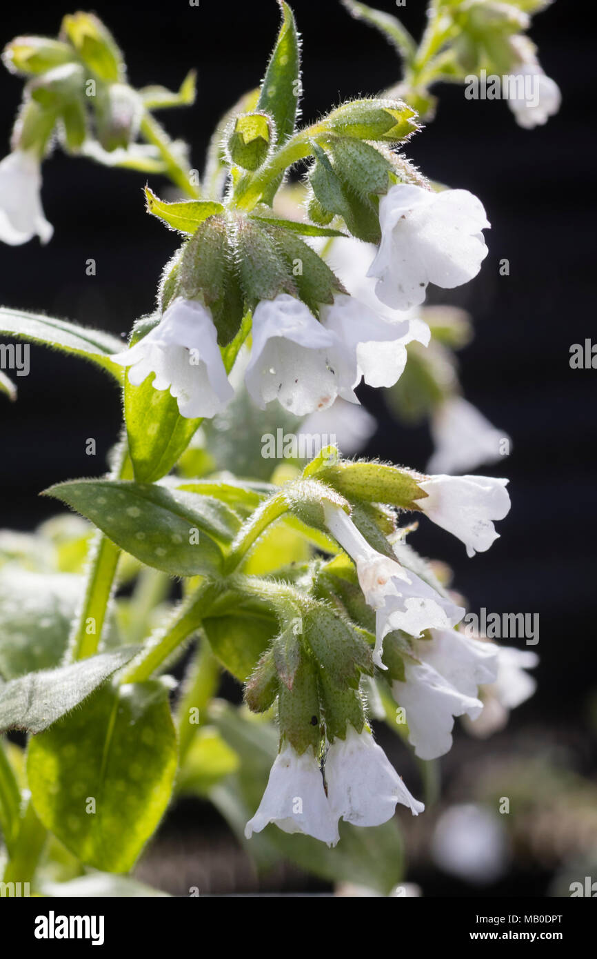 White spring flowers and spotted foliage of the hardy perennial white spring flowers and spotted foliage of the hardy perennial lungwort pulmonaria sissinghurst white mightylinksfo