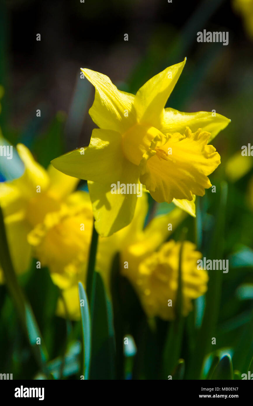 Narcissus genus stock photos narcissus genus stock images alamy flower of narcissus a bulbous eurasian plant of a genus that includes the daffodil mightylinksfo