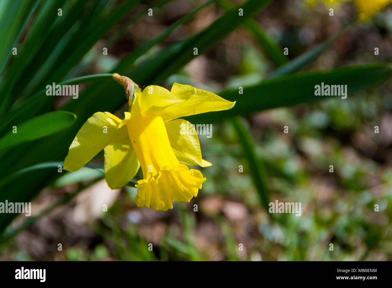 Flower of narcissus. A bulbous Eurasian plant of a genus that includes the daffodil, especially (in gardening) one with flowers that have white or pal - Stock Image
