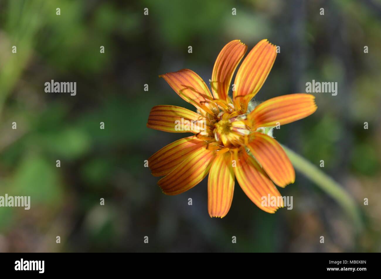 Pretty orange and yellow flower - Stock Image
