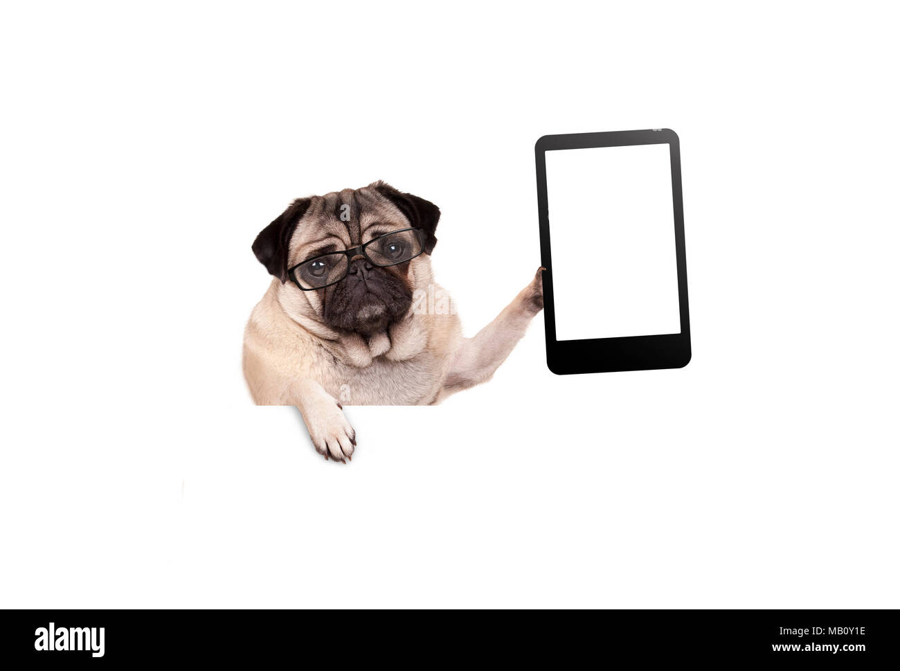 pug puppy dog with glasses holding up blank tablet or mobile phone, hanging on white banner, isolated Stock Photo