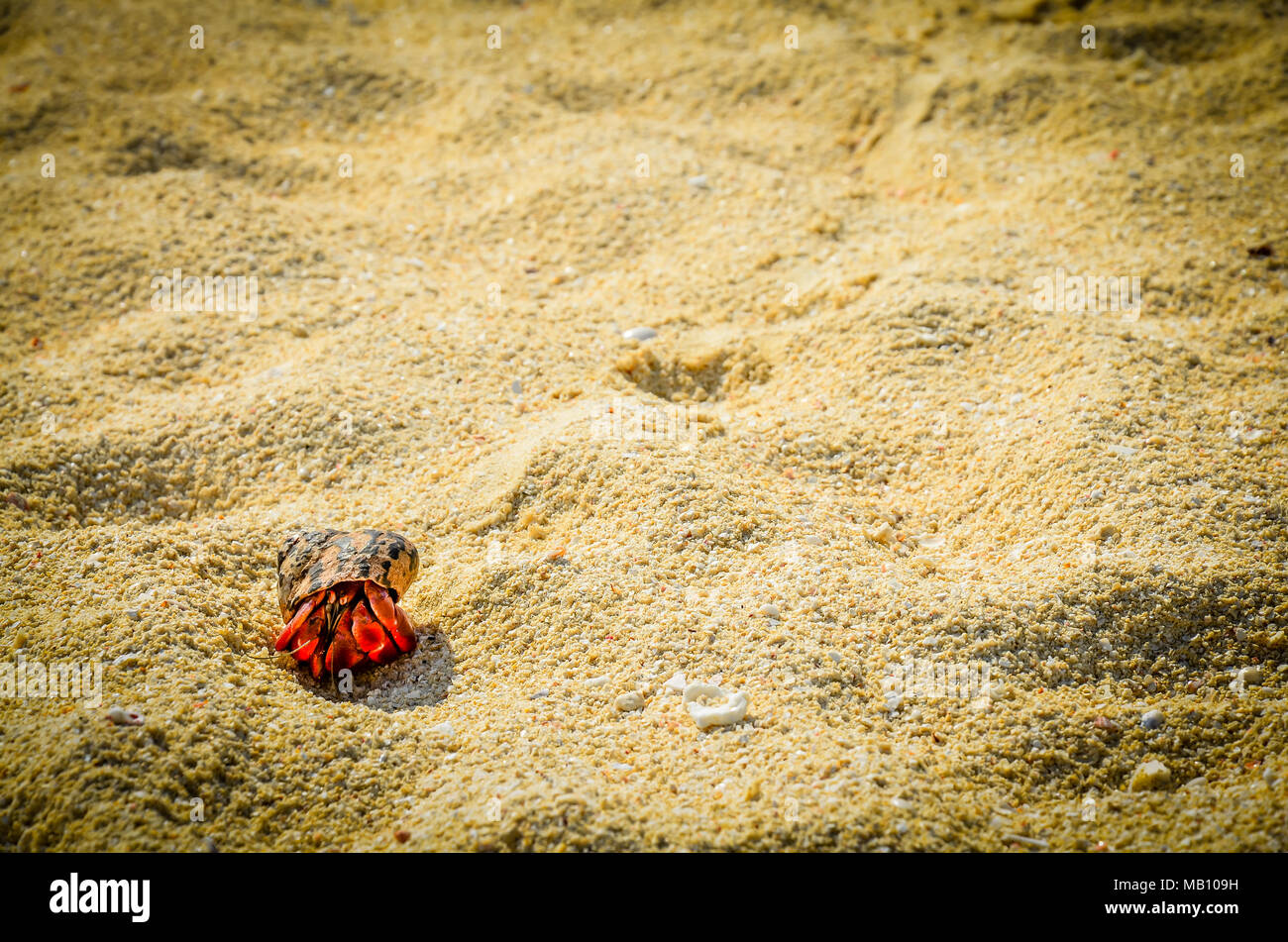 Hermit Crab Size | A Large Size Of Fist Red Legged Hermit Crab Leaves Tracks As It