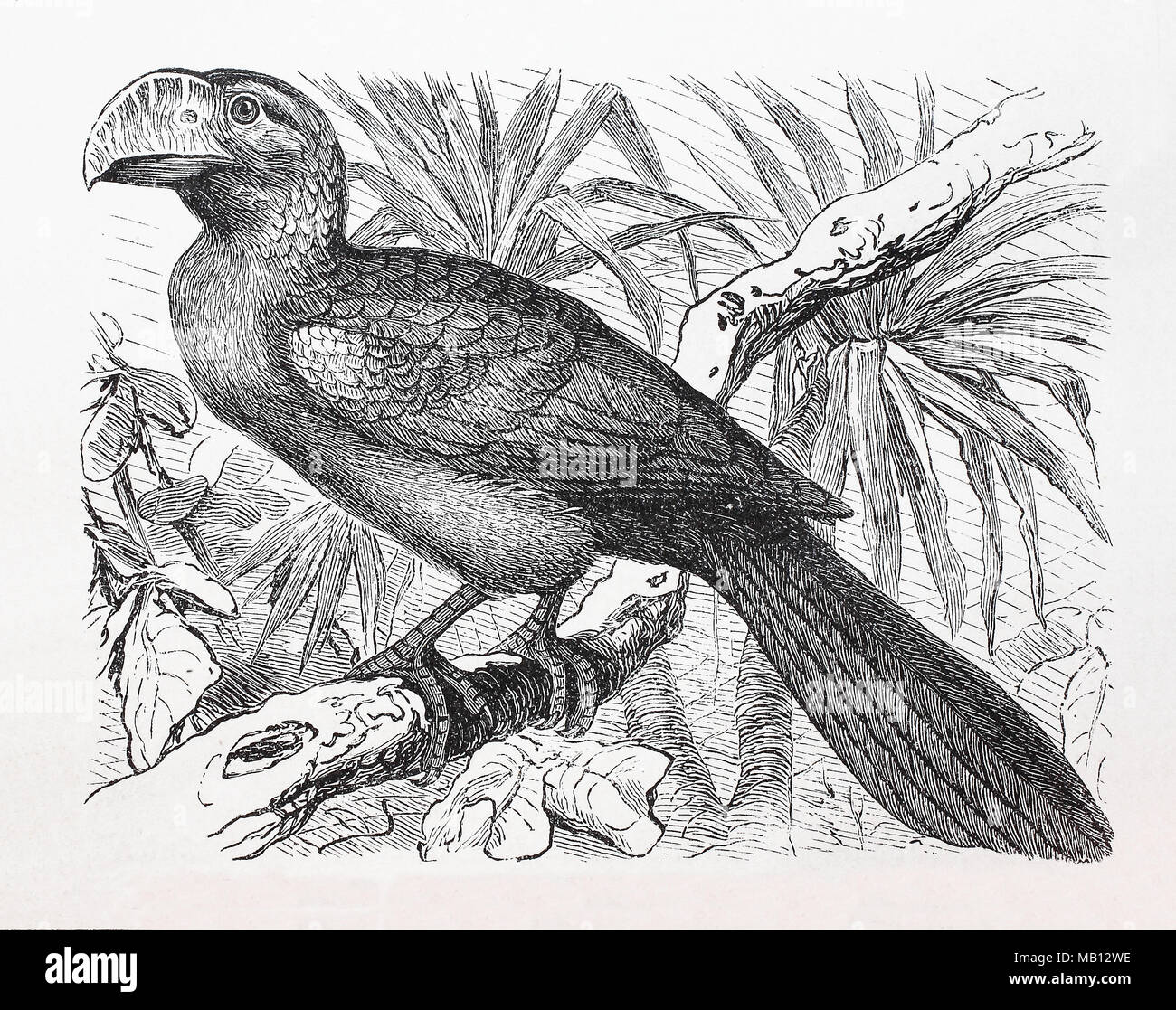 Madenfresser, Ani, Glattschnabelani, Crotophaga Ani, smooth-billed ani, digital improved reproduction of an original print from the year 1895 - Stock Image