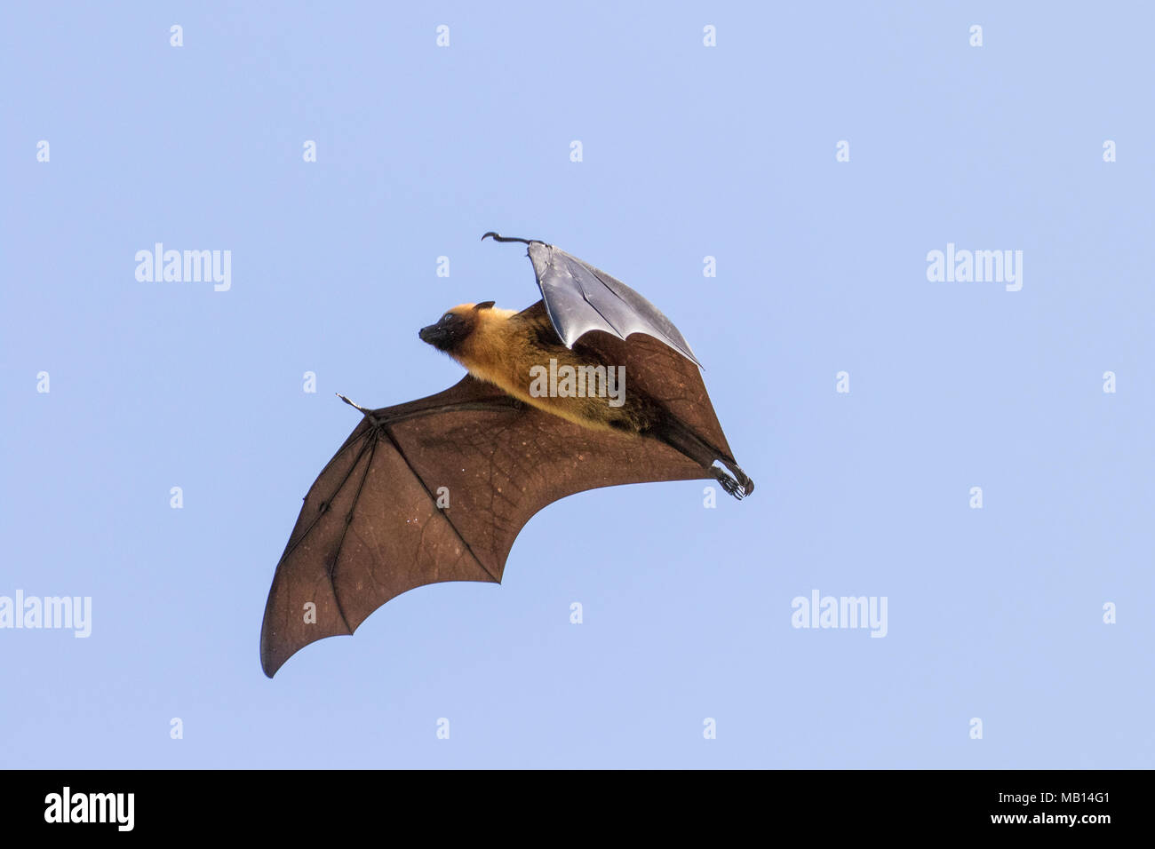 Seychelles Fruit Bat, otherwise known as Seychelles Flying Fox (Pteropus seychellensis), in flight, Silhouette Island, Seychelles - Stock Image