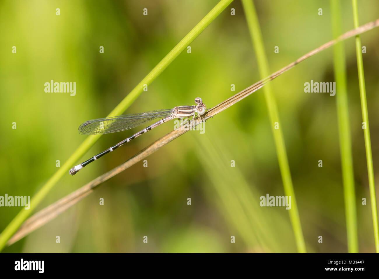 06067-00111 Seepage Dancer (Argia bipunctulata) female Bee Fork West Fen Reynolds Co. MO - Stock Image