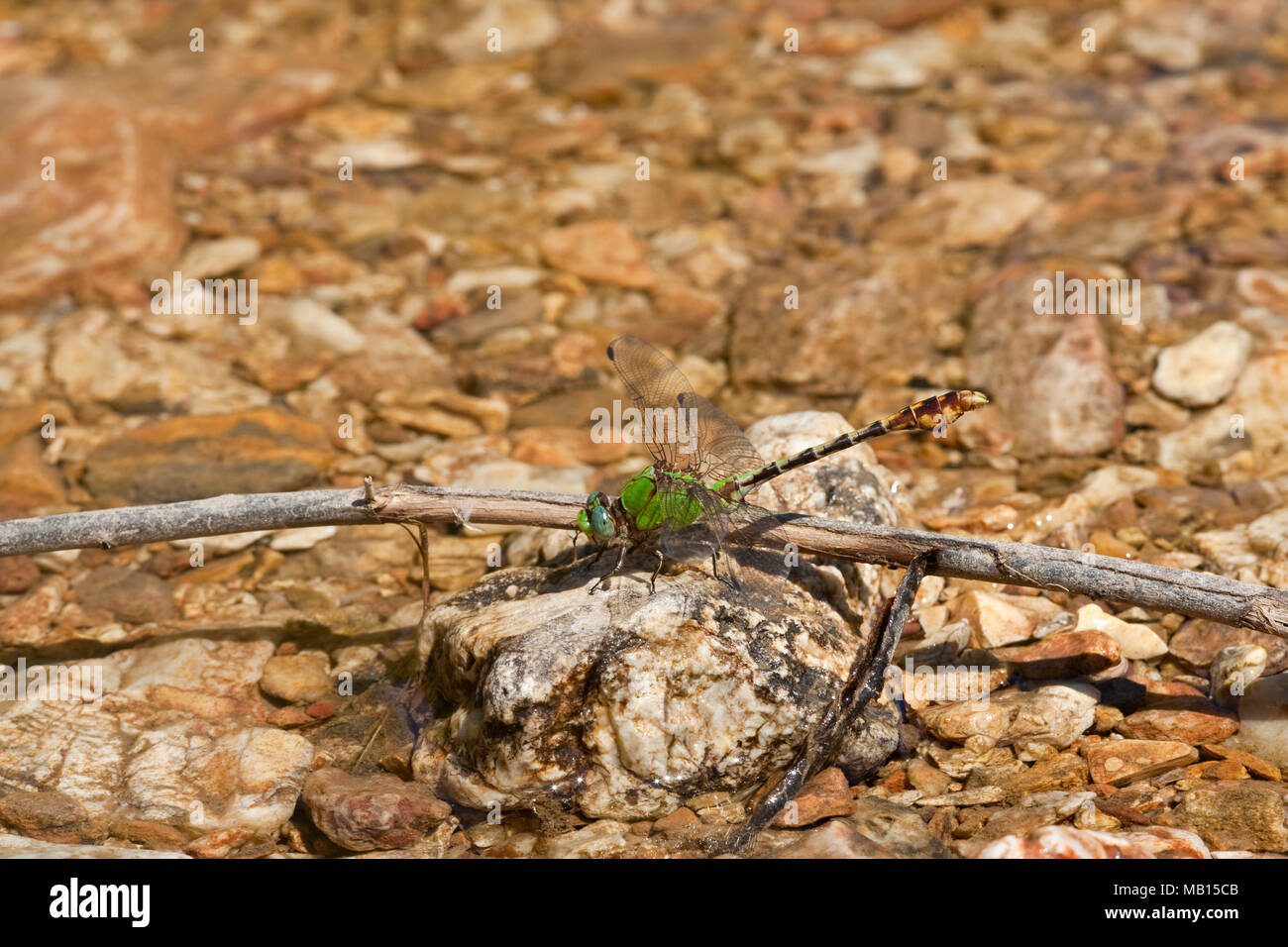 06468-001.05 Westfall's Snaketail (Ophiogomphus westfalli) male in stream,  Crawford Co., MO - Stock Image