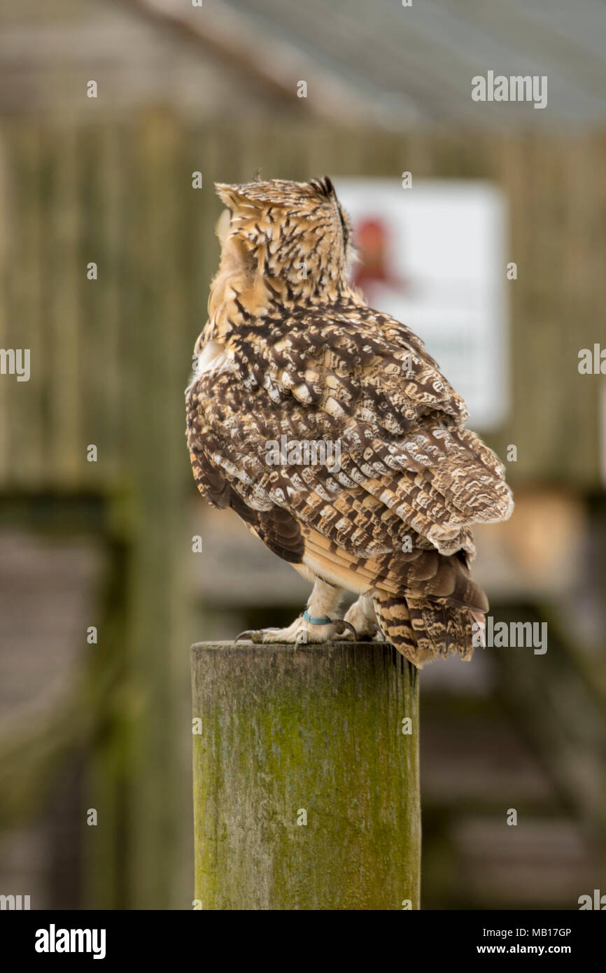 European Eagle Owl on wooden perch in conservation area, Cambridgeshire, England, United Kingdom, Europe - Stock Image
