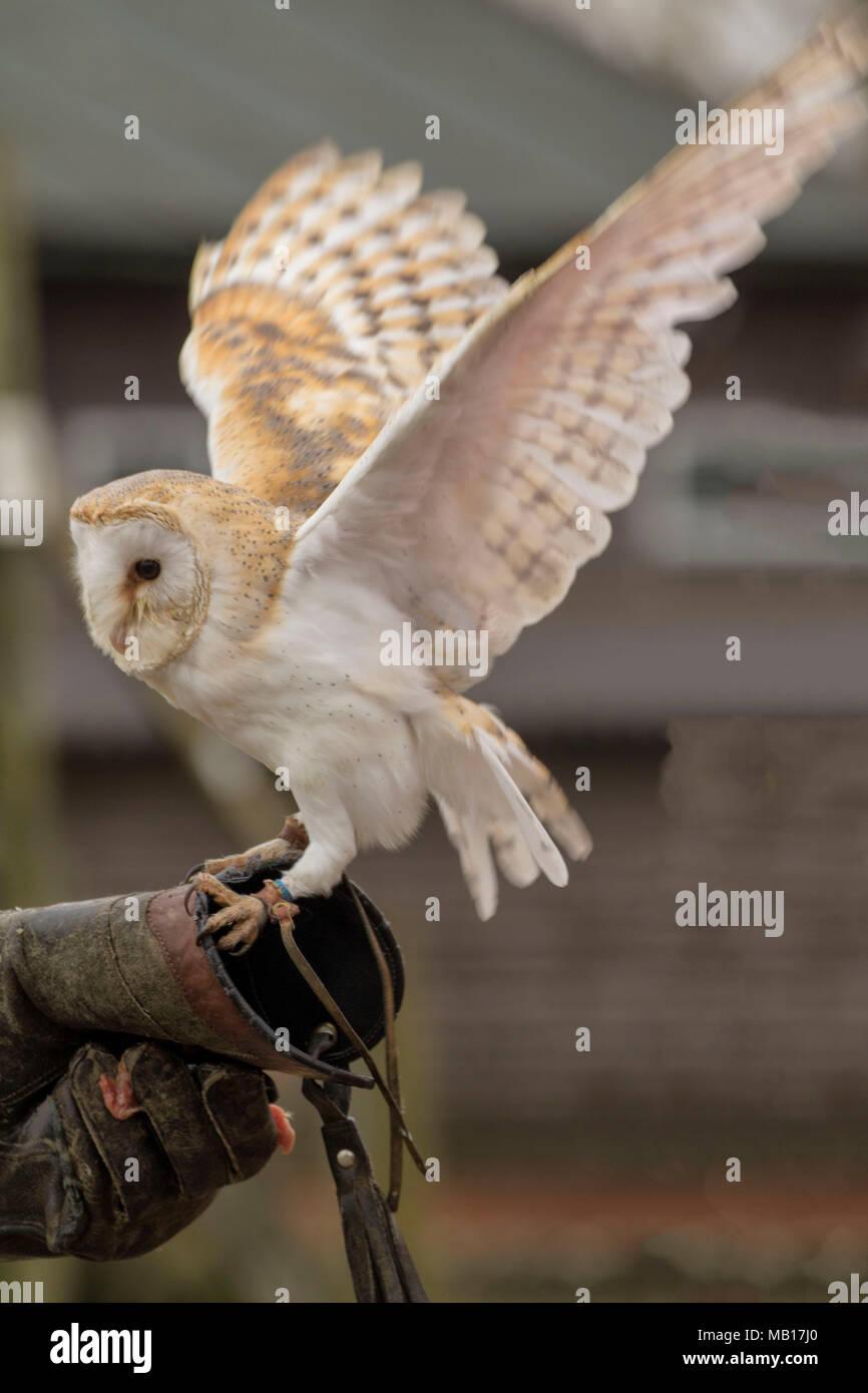 Common Barn owl displaying at Woodhurst (Huntingdon), Cambridgeshire, England, Europe - Stock Image