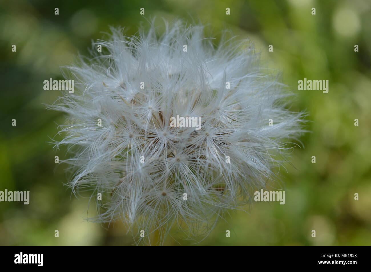 Fluffy dandelion-type flower - Stock Image