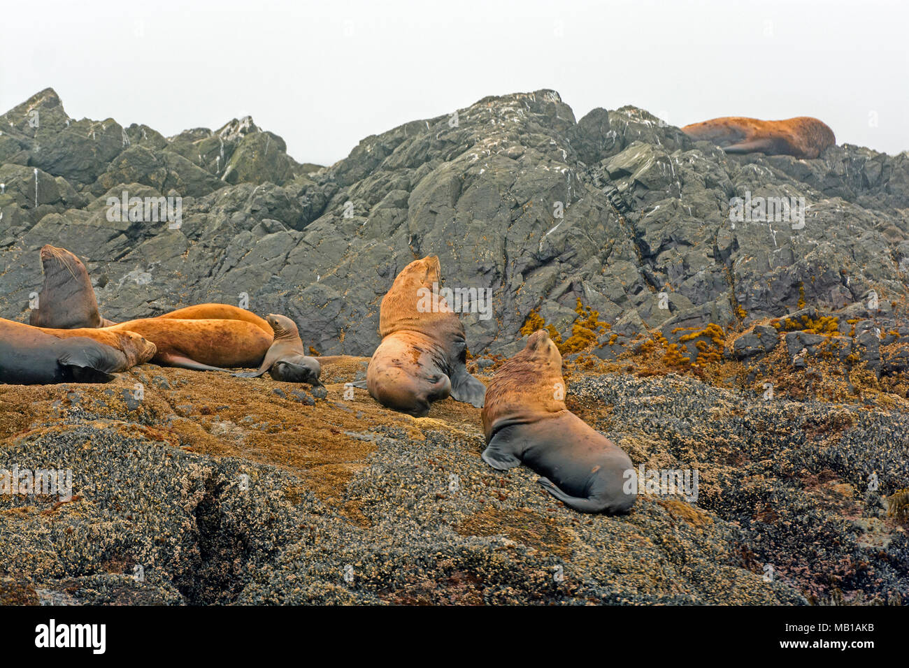Stellar Sea Lions off the coast of Vancouver Island near Tofino - Stock Image