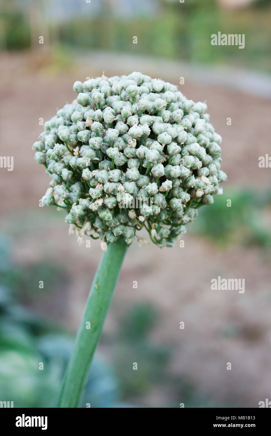 Uterine bow in the garden begins to produce seeds - Stock Image