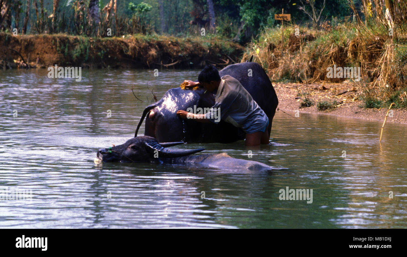 An indigenous Intha tribe man washes his water buffalo in Inle Lake in the afternoon sunlight in Shan State, Burma (Myanmar). - Stock Image