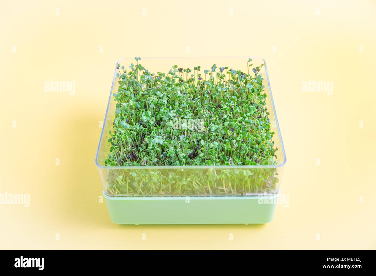 Bright green fresh microgreens salad mix sprouted in a square dish on yellow background - Stock Image
