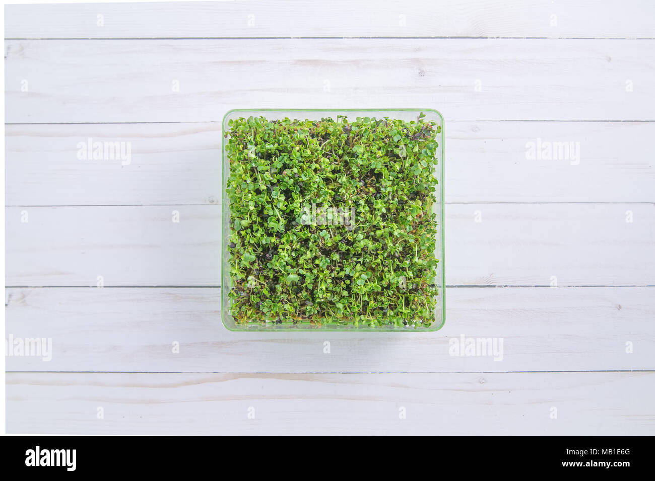 Tray of fresh microgreen sprouts on a white wood background Stock Photo