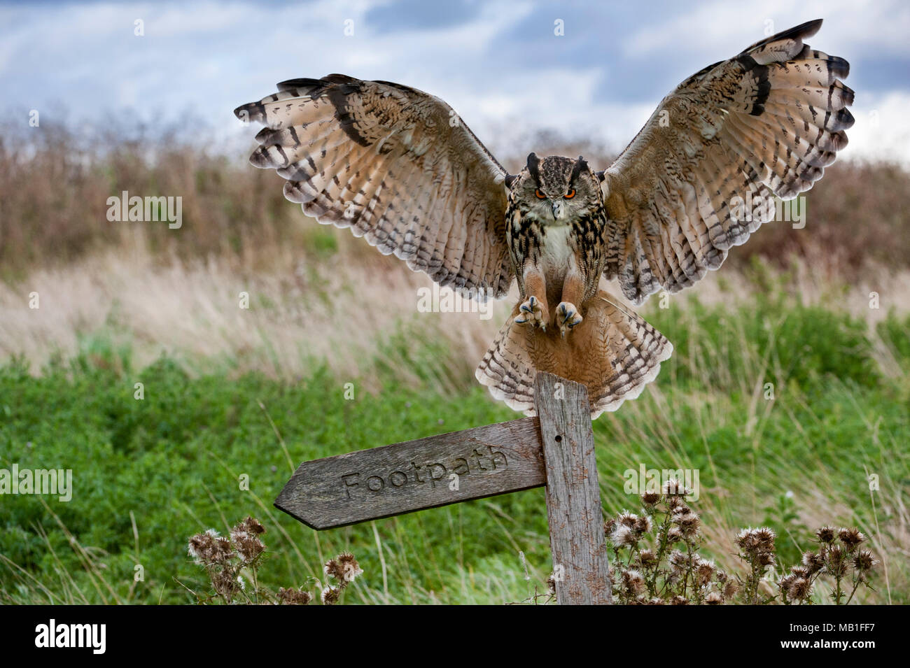 Eurasian eagle owl (Bubo bubo) landing with open wings on signpost in meadow at dusk, England, UK - Stock Image