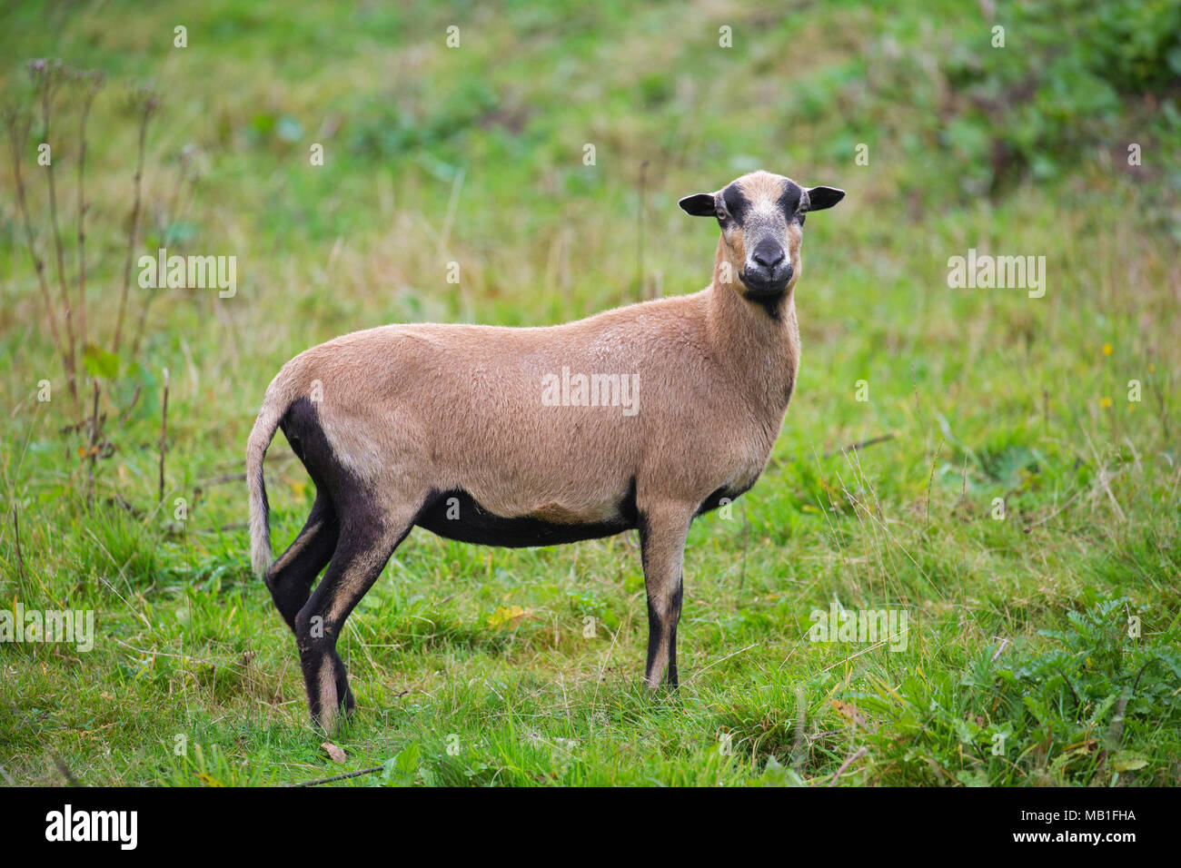 Cameroon sheep ewe, domesticated breed of sheep from West Africa in meadow - Stock Image