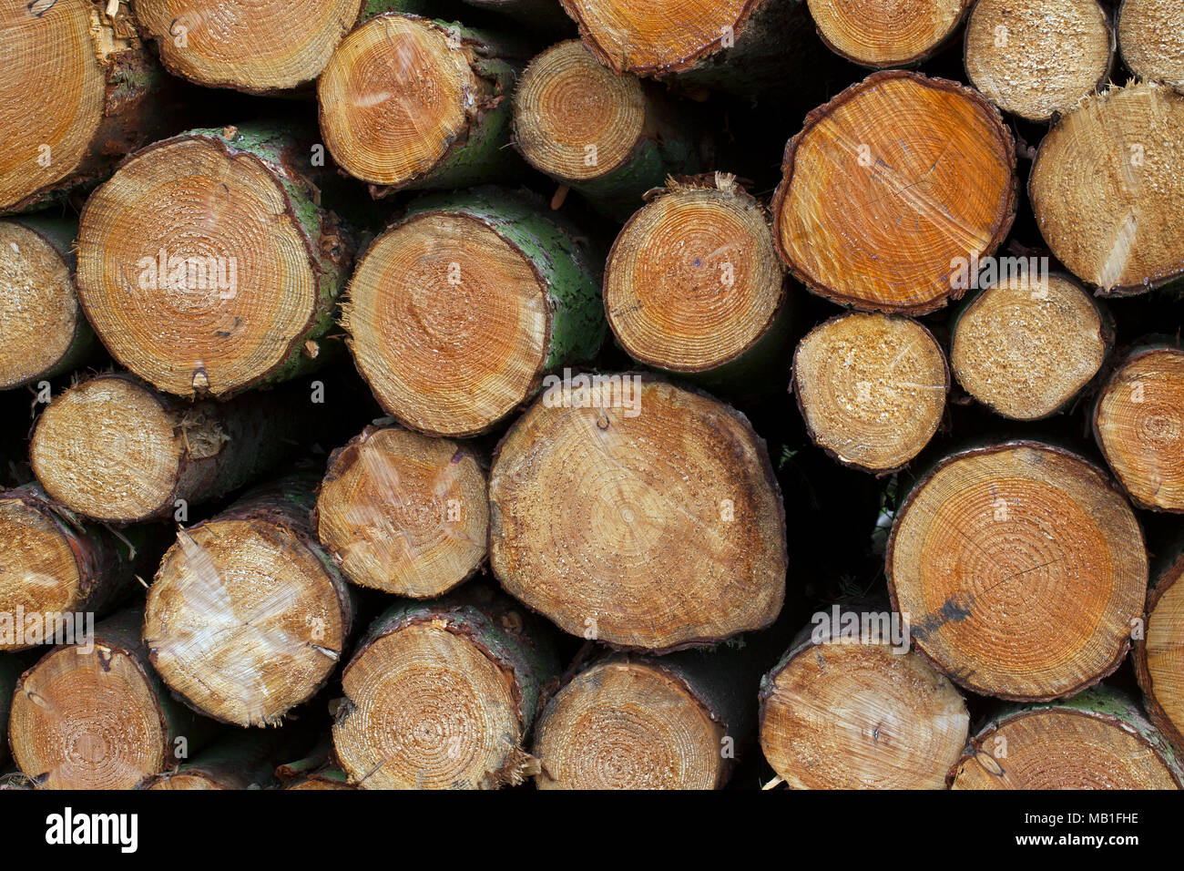 Stack of cut Norway spruce (Picea abies) logs, firewood used as wood fuel - Stock Image
