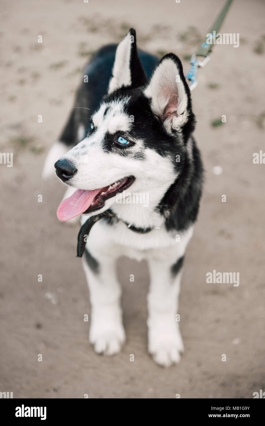 Cute Siberian Husky Puppy Dog With Blue Eyes Play Outdoors At Sunny Summer Weather Stock Photo Alamy