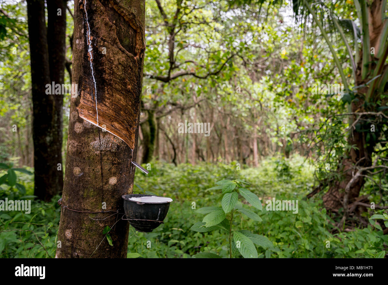 Plantation of rubber trees in the jungle on Koh Phayam in Thailand - Stock Image