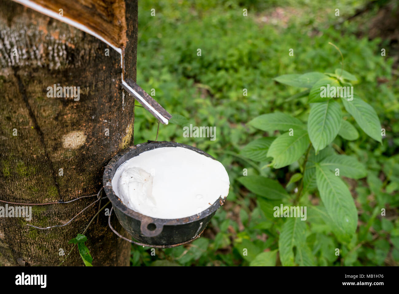 Close-up of rubber tapping and the lush undergrowth in the background - Stock Image