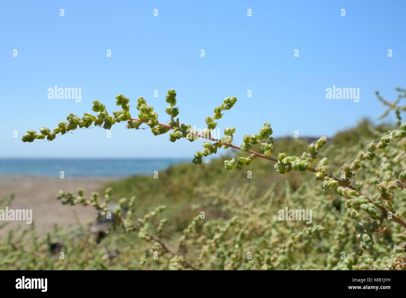 Balancon / Moquini's Traganum (Traganum moquinii) bushes growing on the fringes of a sandy beach, Pozo Negro, Fuerteventura, June. Stock Photo