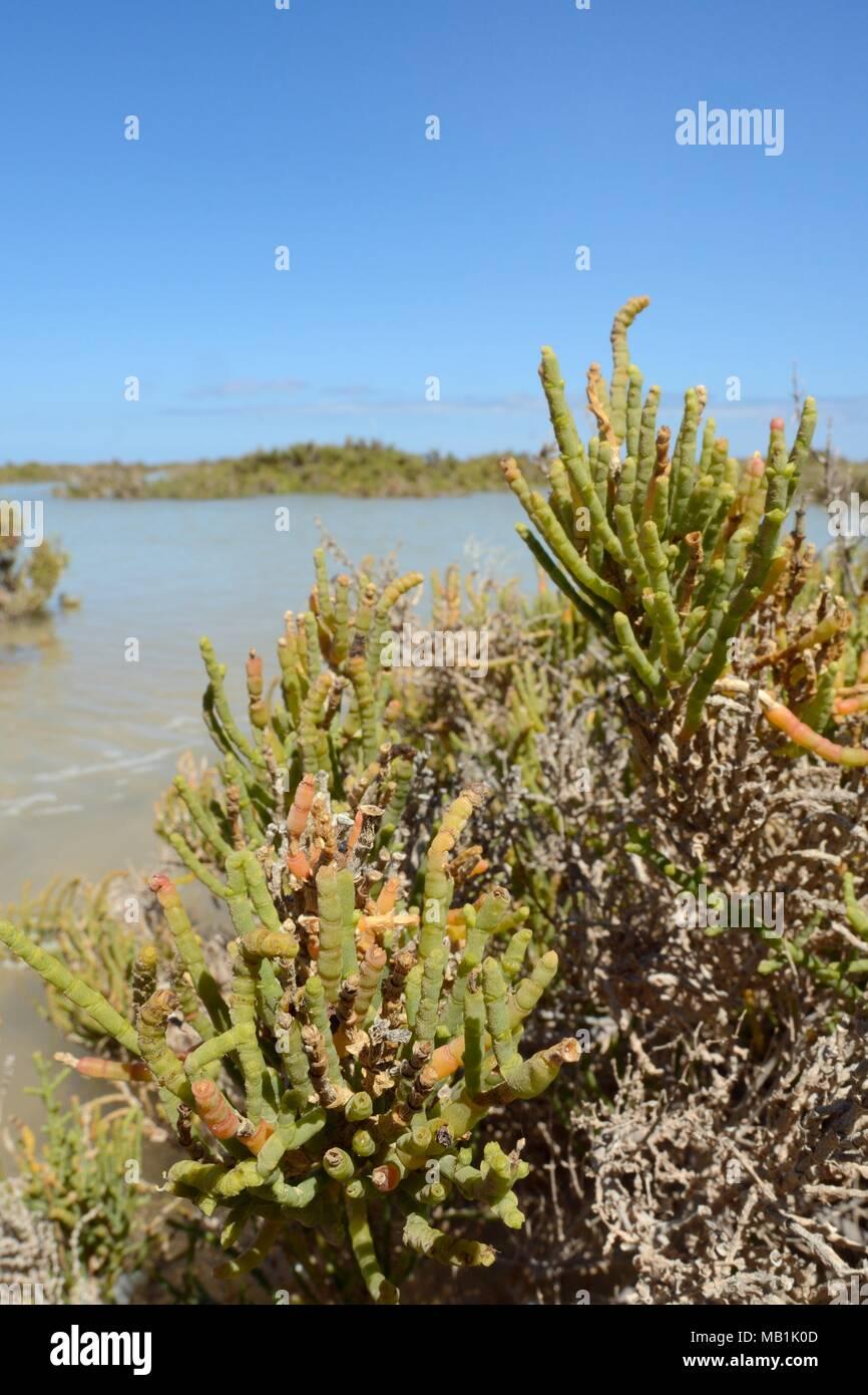 Glaucous glasswort (Arthrocnemum macrostachyum / glaucum) bushes partly submerged by a high tide in a coastal lagoon, Sotavento, Fuerteventura. Stock Photo