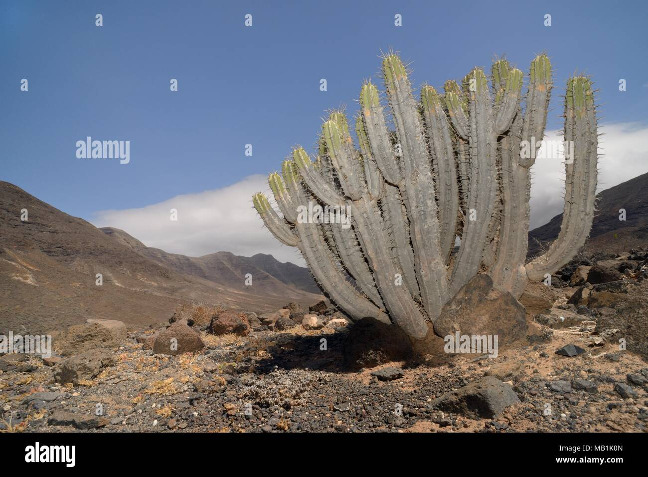 Jandia spurge / Cardon de Jandia (Euphorbia handiensis) a rare Red Data Book listed Fuertventuran endemic plant found only in two valleys in the south - Stock Image