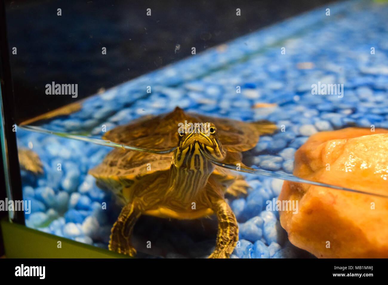 Turtle aquarium - Stock Image