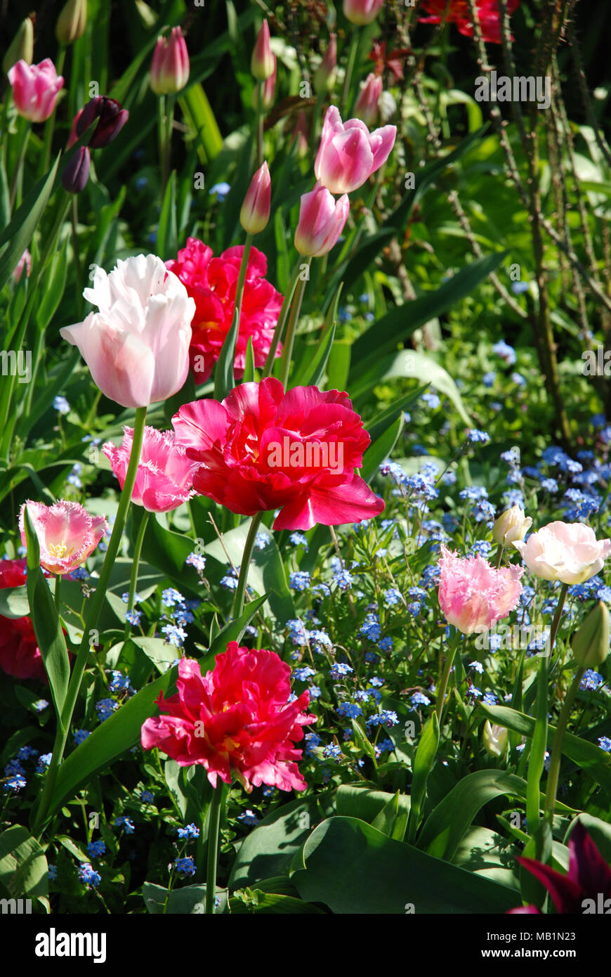 Spring Flowers Different Types Of Tulips Parrot Tulips Scarlet