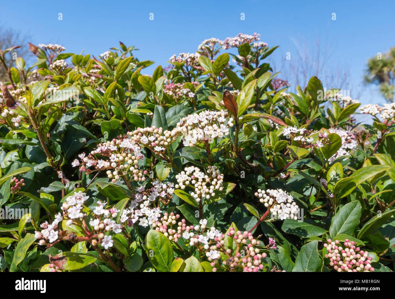 Viburnum tinus bush (Laurustinus viburnum, Laurestine) starting to flower in early Spring in West Sussex, England, UK. - Stock Image