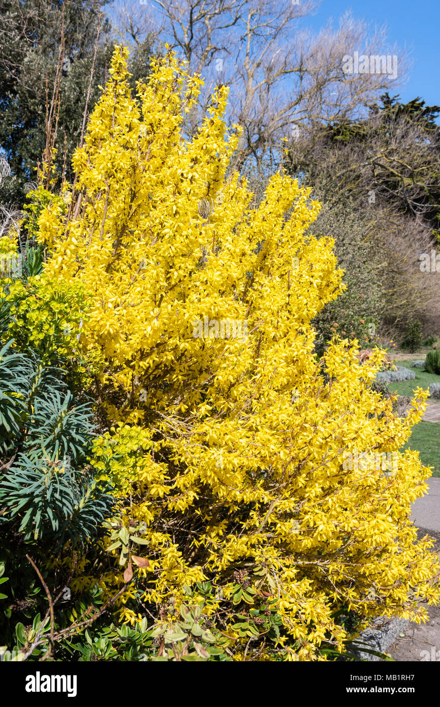 Yellow Forsythia Bush Blooming In Early Spring In A Park In West