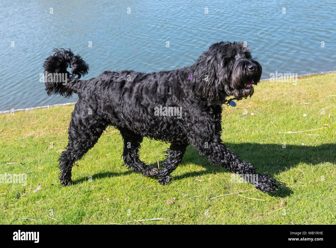 Springerdoodle (English Springer Spaniel and Poodle mixed breed) dog