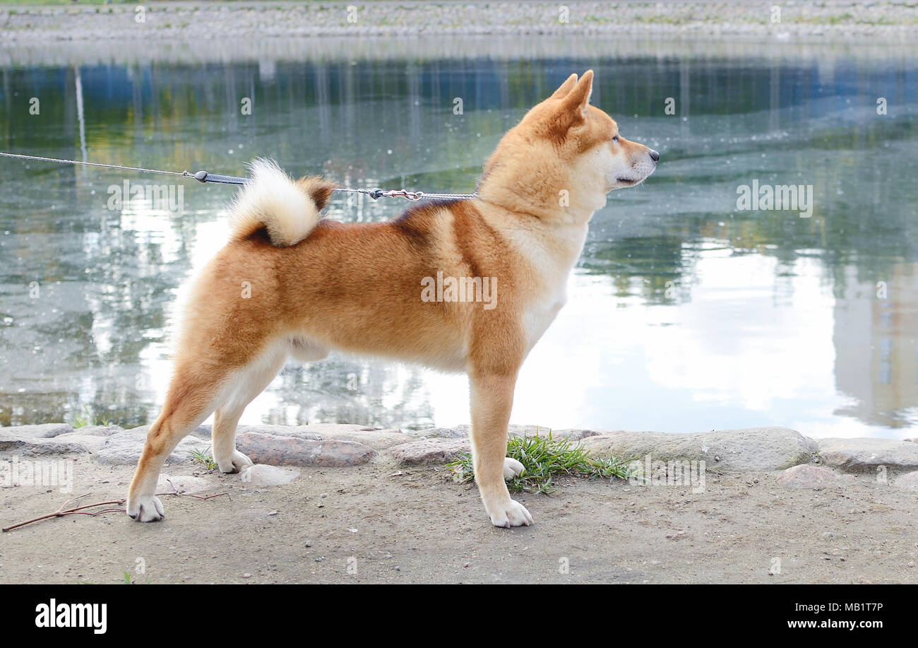 The dog shiba-inu stands in the exterior rack - Stock Image