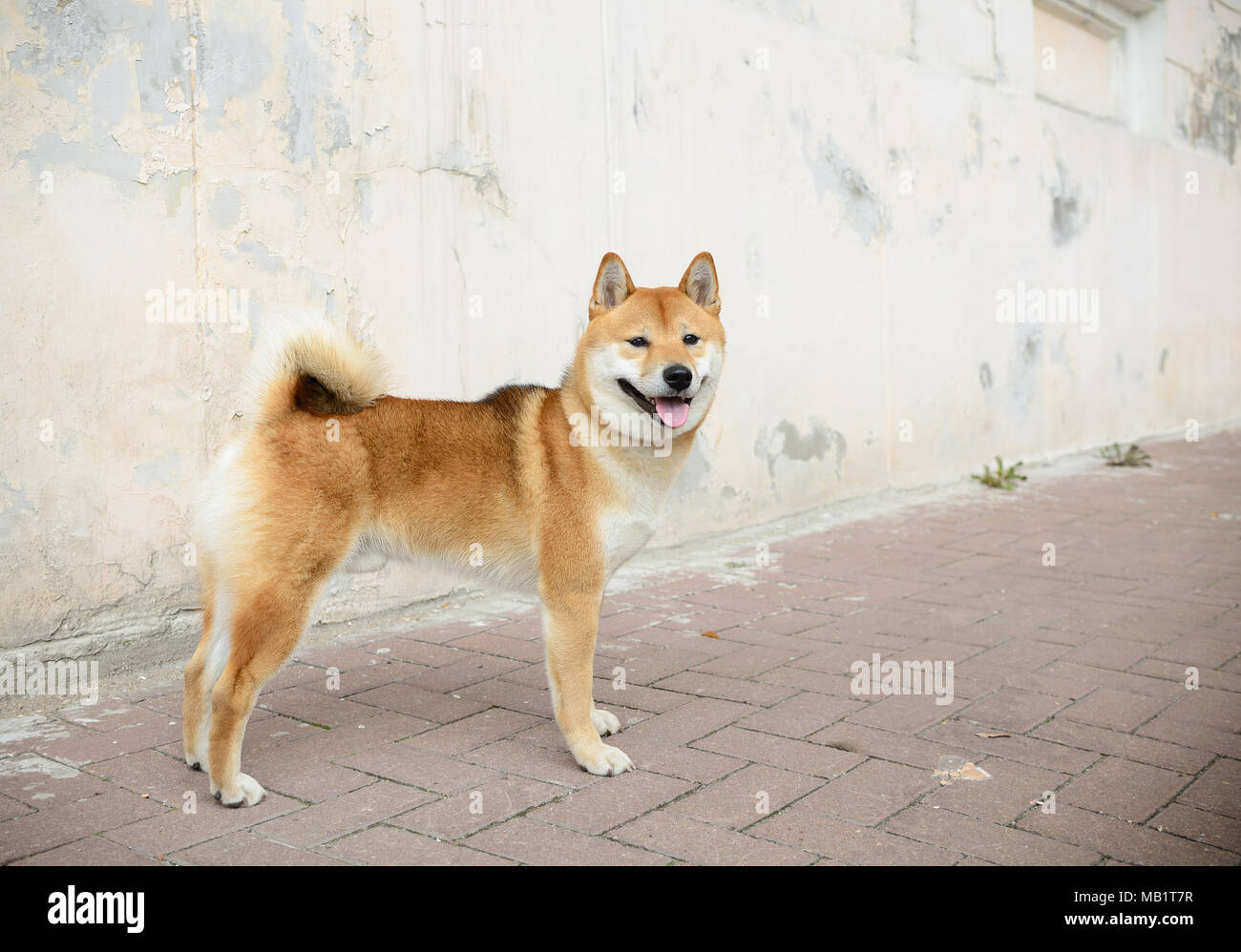 Shiba Inu in full lenght - Stock Image