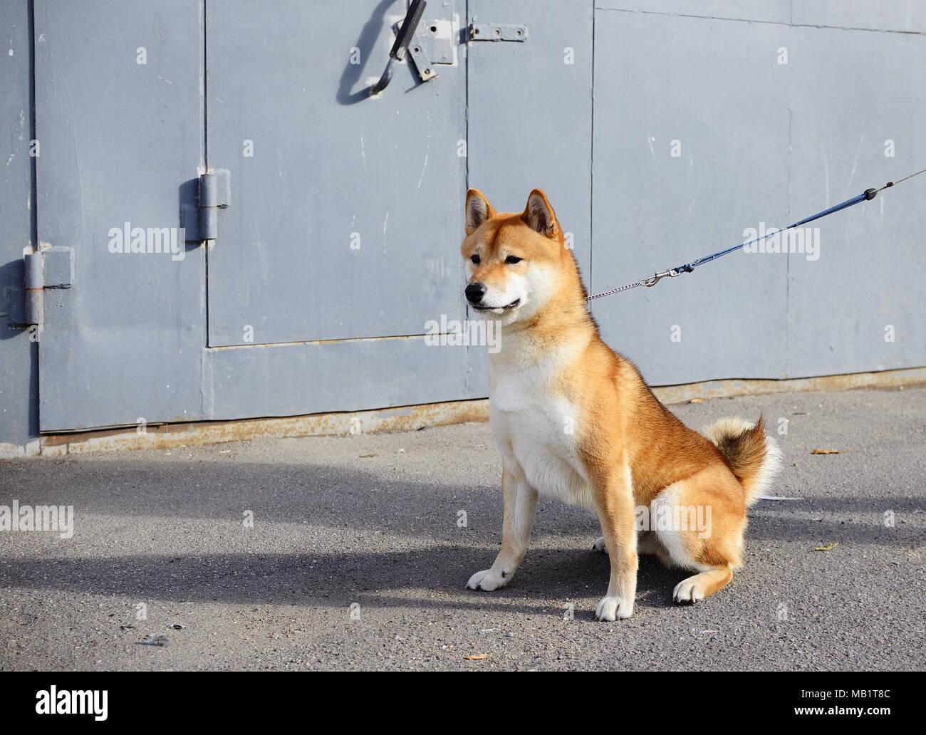 Dog Shiba Inu sits on a walk - Stock Image