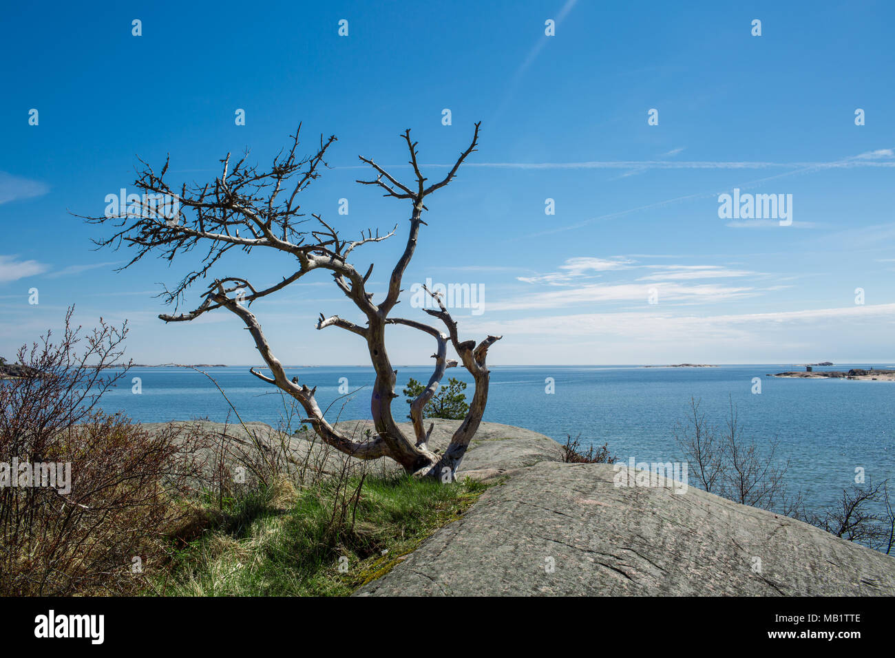 Finland,Hanko Early Summer. Scenic view of Baltic sea, and blue sky, Lonely tree on the rock. Peaceful Finnish landscape. - Stock Image