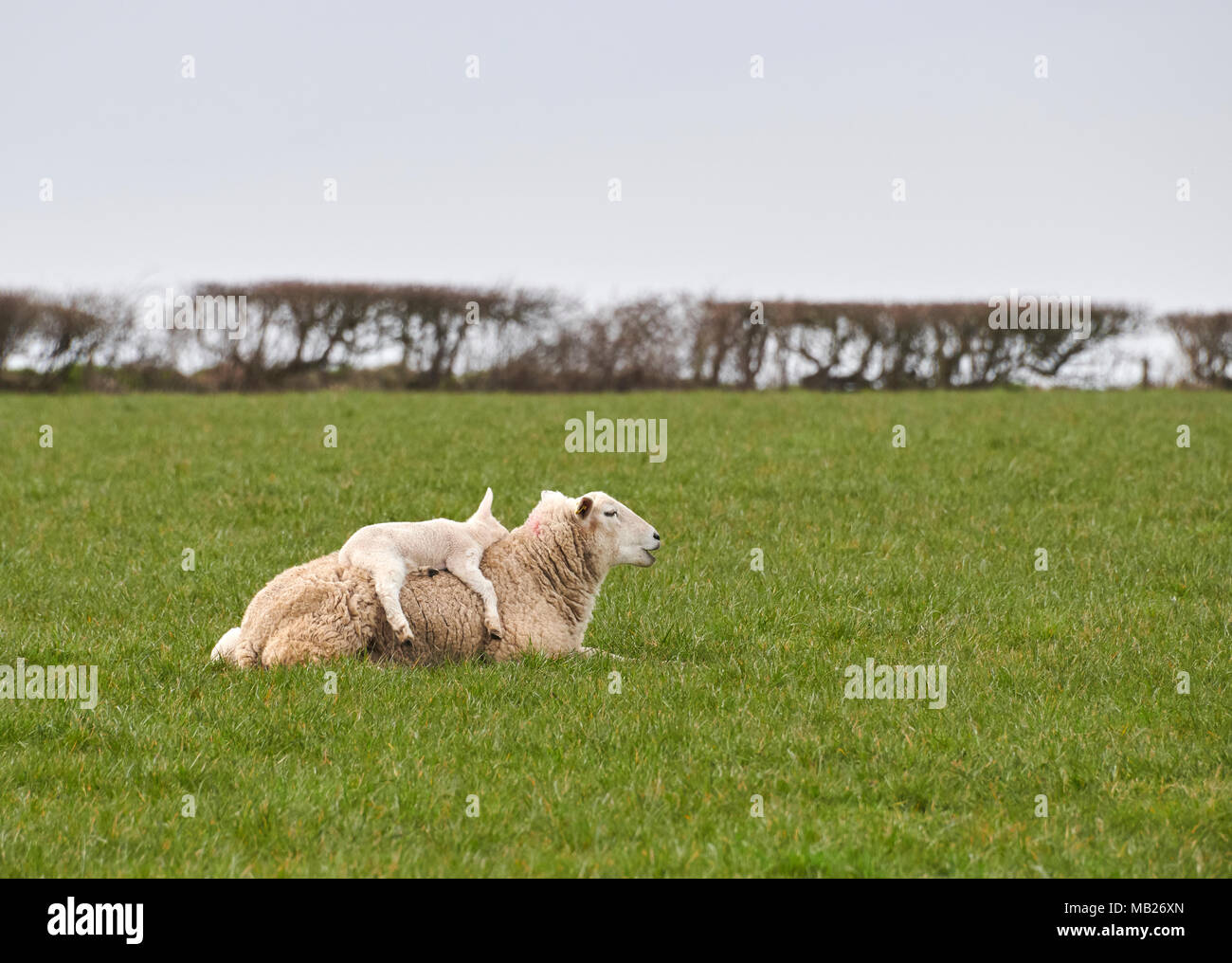 St Brides Major, Wales UK. 5th April 2018, Lambing well under way as weather improves in the Vale of Glamorgan, although this lamb clearly did not want to put its feet on the  damp grass. Credit: Phillip Thomas/Alamy Live News - Stock Image