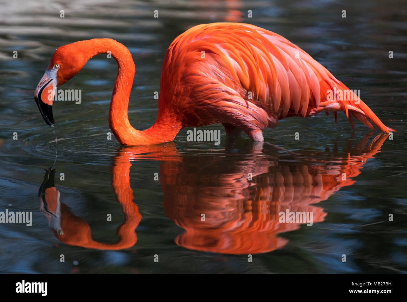 Dresden, Germany. 06 April 2018, Germany, Dresden: A red flamingo stands inside its pond in its enclosure at the Dresden Zoo. Photo: Monika Skolimowska/dpa-Zentralbild/dpa Credit: dpa picture alliance/Alamy Live News - Stock Image
