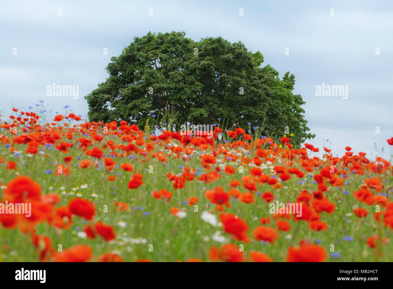 Summer tree in the red poppy's field - Stock Image