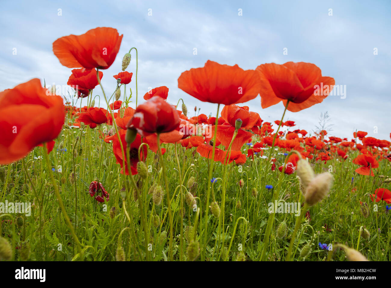Natural beauty of red poppies - Stock Image