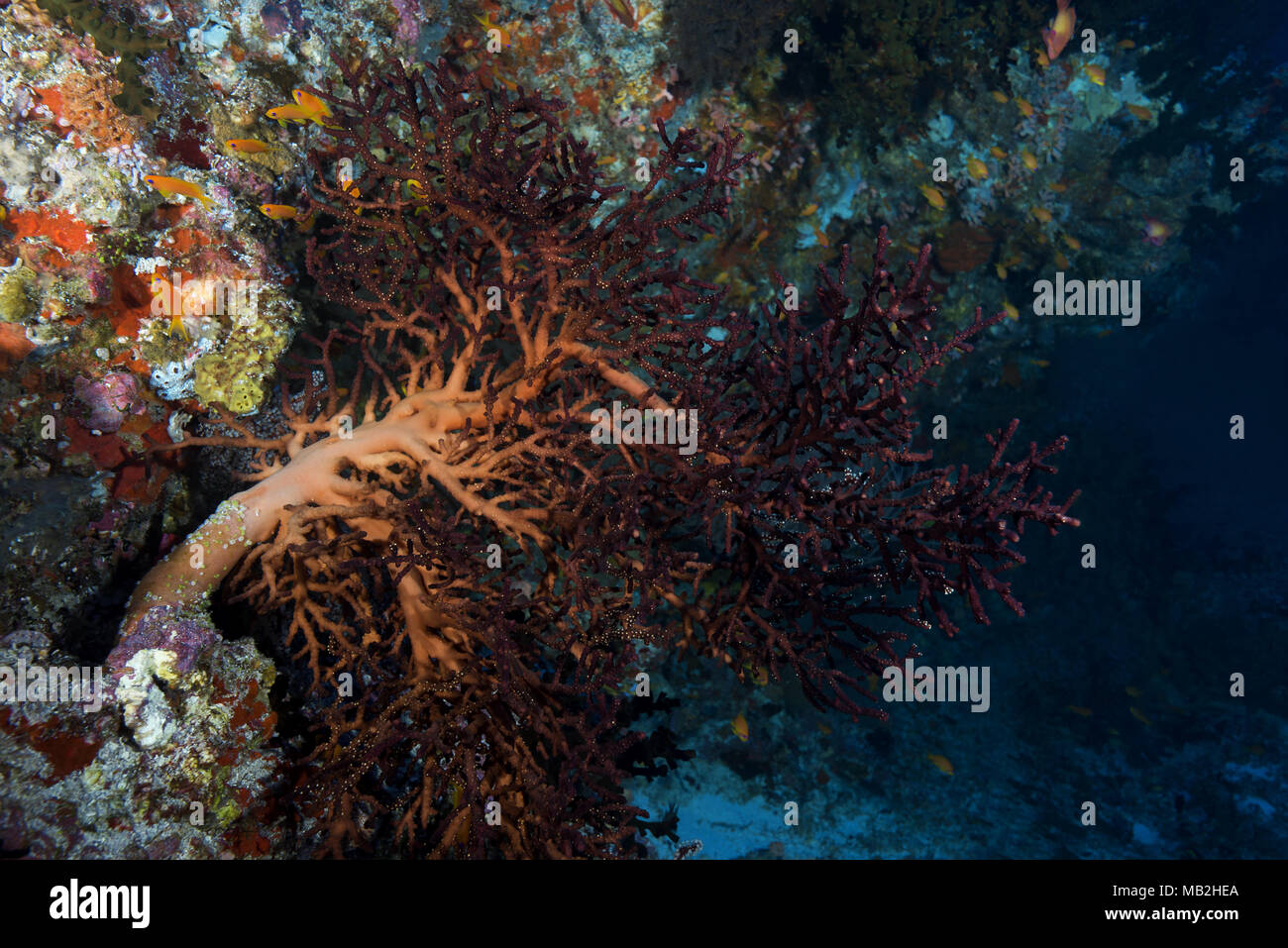 Cherry blossom coral or Godeffroy's Soft Coral (Siphonogorgia godeffroyi) - Stock Image