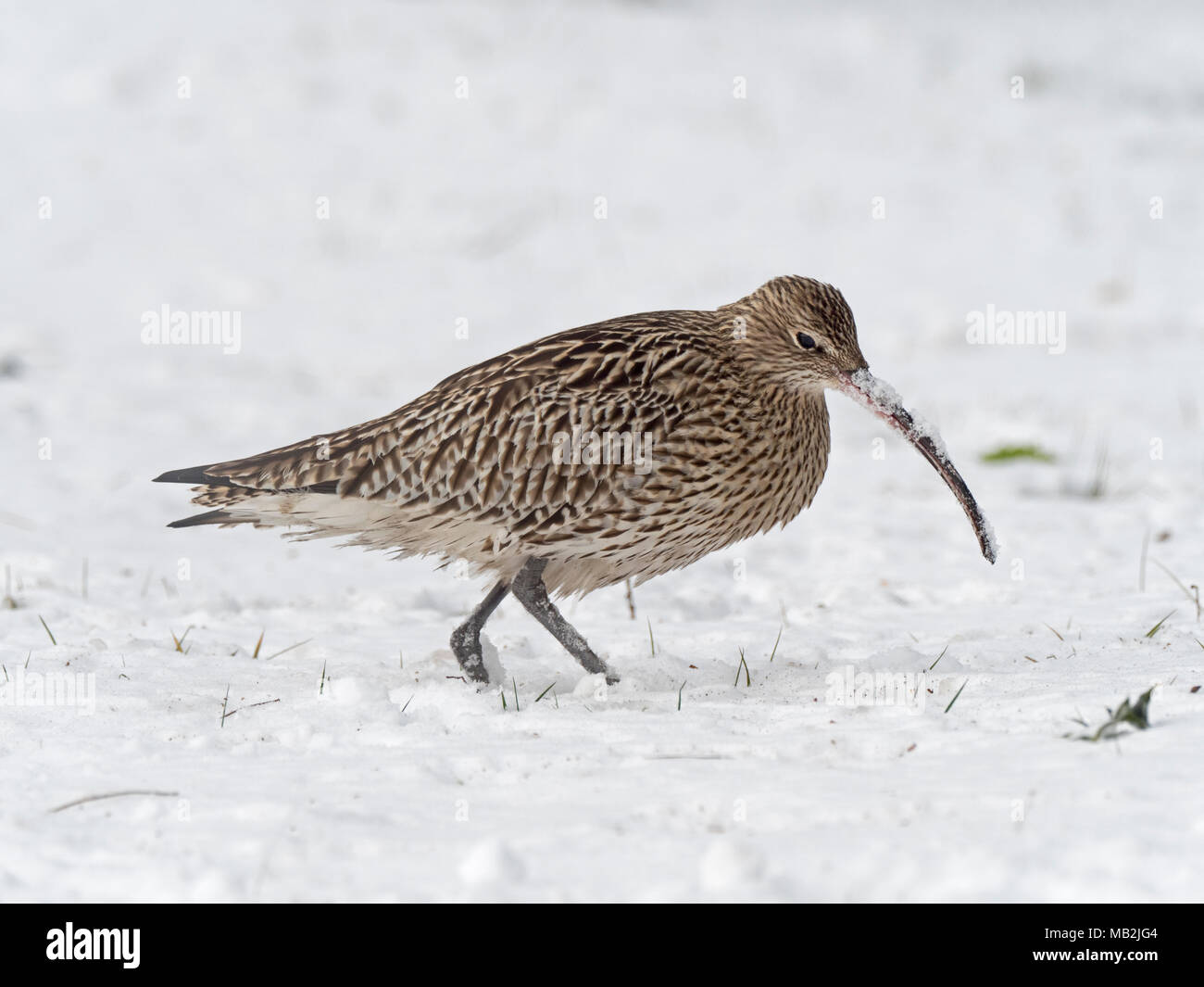 Eurasian Curlew Numenius arquata feeding in deep snow on grazing marsh Holkham Norfolk Stock Photo