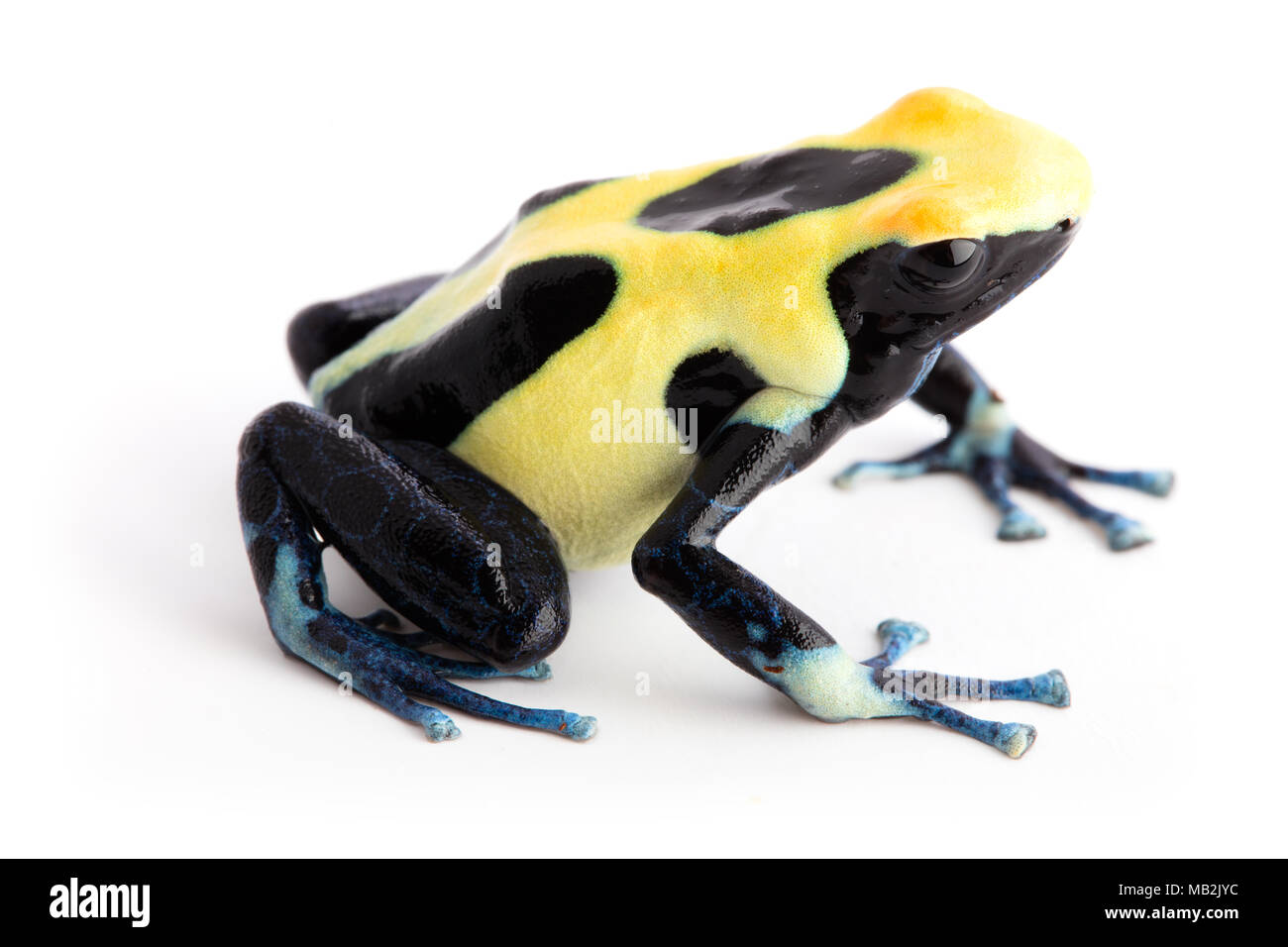 Yellow back poison dart frog Dendrobates tinctorius from the tropical Amazon rain forest of Suriname. Exotic animal isolated on white background. - Stock Image
