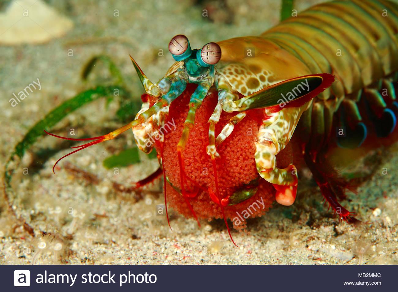 Clown mantis shrimp (Odontodactylus scyllarus) with eggs, Sabang beach, Mindoro, Philippines, Asia - Stock Image